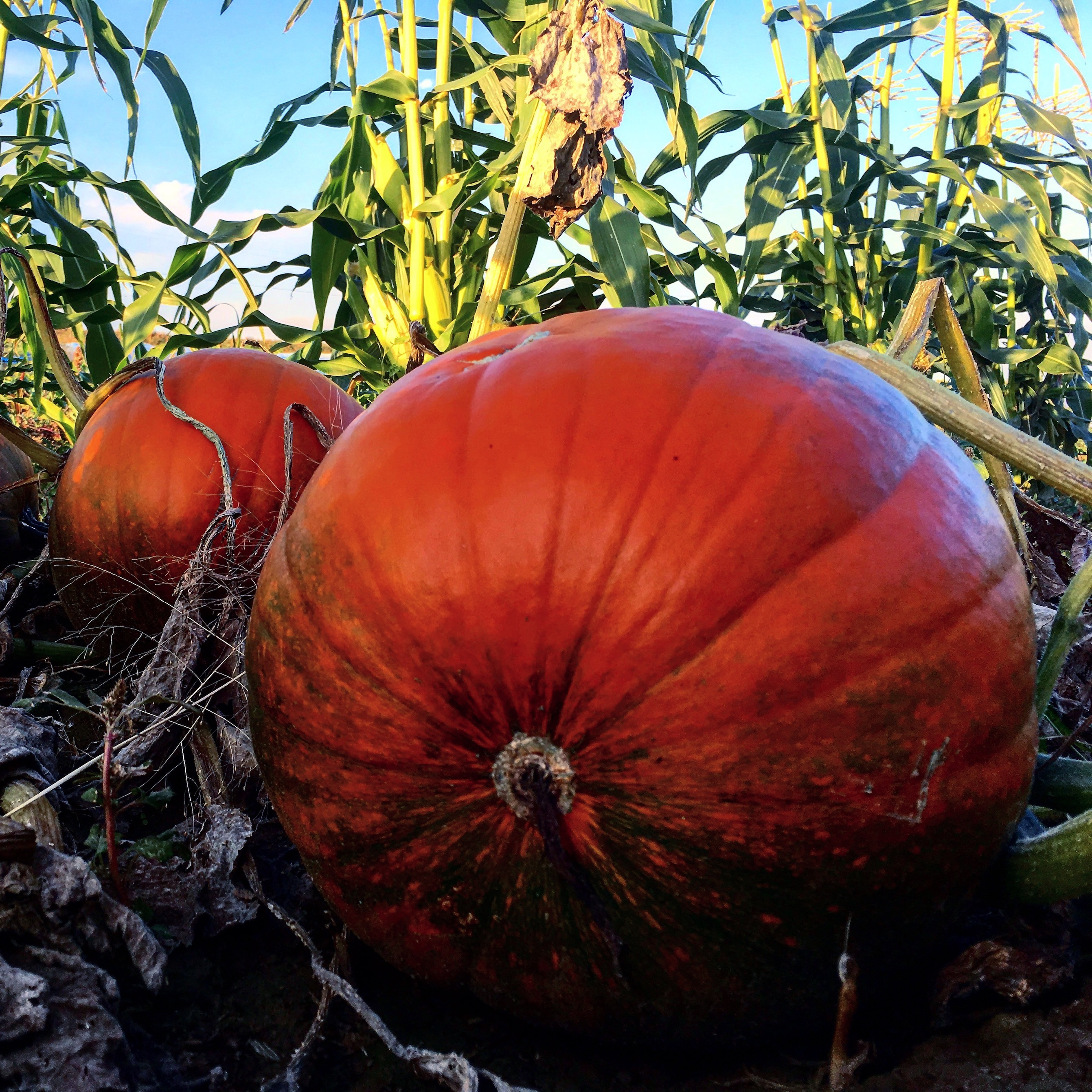 Pumpkins and corn. You can say goodbye to fresh, local corn for the year next week, but pumpkins will be available for months.