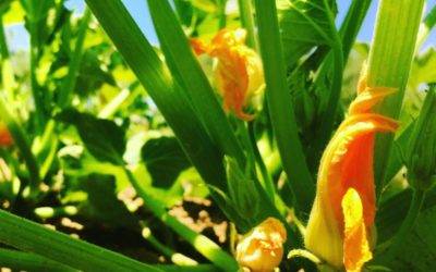 Summer Squash Blossoms Are Here — With Recipe