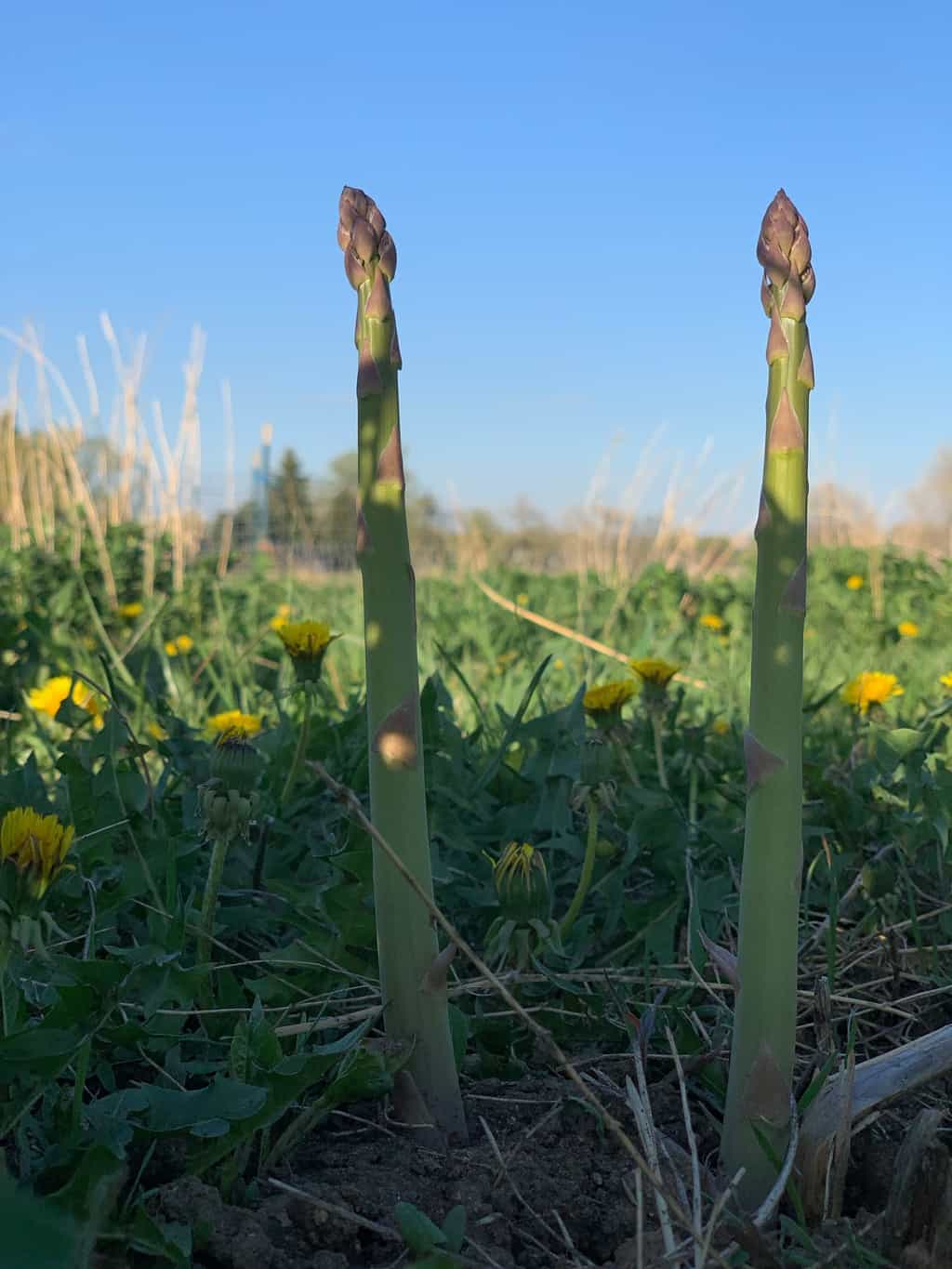 An asparagus spear at Black Cat Farm in Boulder, Colorado