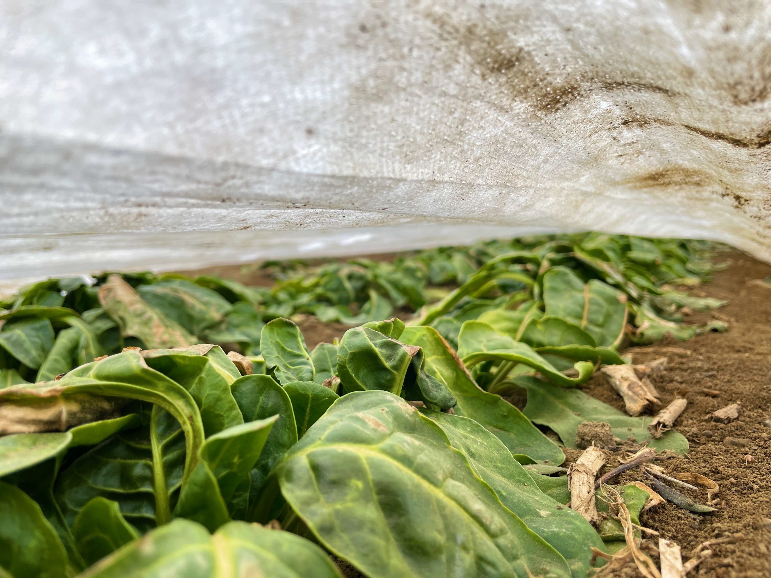 Spinach for farm stand
